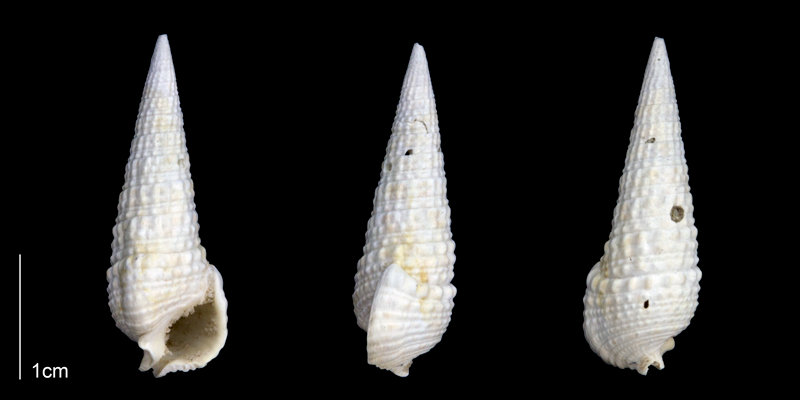<i>Rhinoclavis caloosaensis</i> from the Late Pliocene Tamiami Fm. (Pinecrest Beds) of Sarasota County, Florida (PRI 70180).