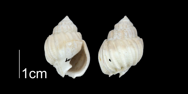 <i>Scalanassa</i> sp. 1 from the Plio-Pleistocene Nashua Fm. of Putnam County, Florida (PRI 70649).