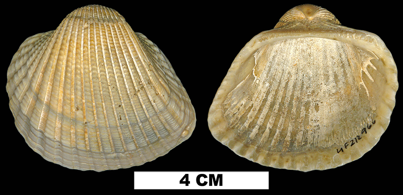 <i>Anadara brasiliana</i> from the Early Pleistocene Waccamaw Fm. of Brunswick County, North Carolina (UF 212966).