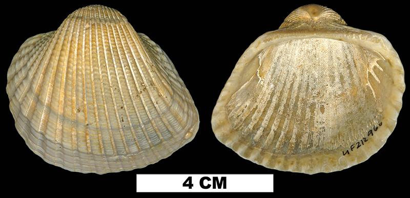 <i>Anadara brasiliana</i> from the Early Pleistocene Waccamaw Fm. of Brunswick County, North Carolina (UF 212966).