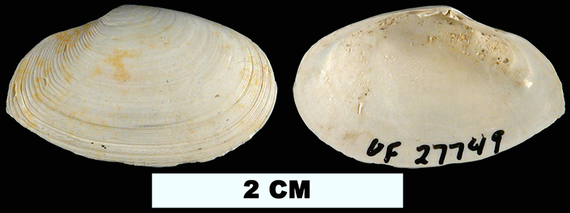 <i>Scissula similis</i> from the Middle Pleistocene Bermont Fm. of Glades County, Florida (UF 27749).