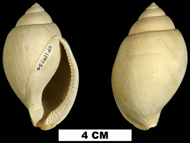 <i>Sconsia hodgii</i> from the Late Pliocene Tamiami Fm. (Pinecrest Beds) of Sarasota County, Florida (UF 119730).