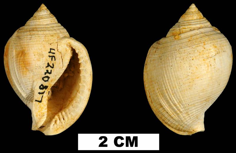 <i>Sconsia paralaevigata</i> from the Early Miocene Chipola Fm. of Calhoun County, Florida (UF 220817).