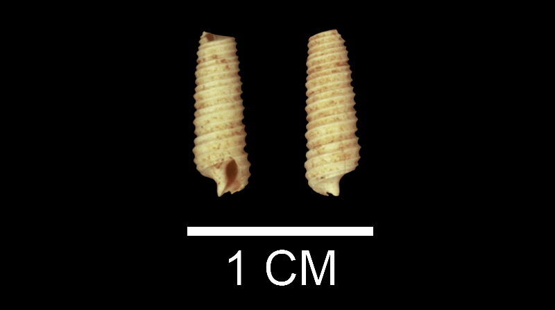 <i>Seila adamsii</i> from the upper Pliocene Yorktown Fm. of Isle of Wight County, Virginia (SDSM 135248).