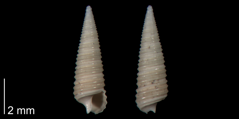 <i>Seila adamsii</i> from the lower Pleistocene Waccamaw Fm. of Brunswick County, North Carolina (PRI 70426).