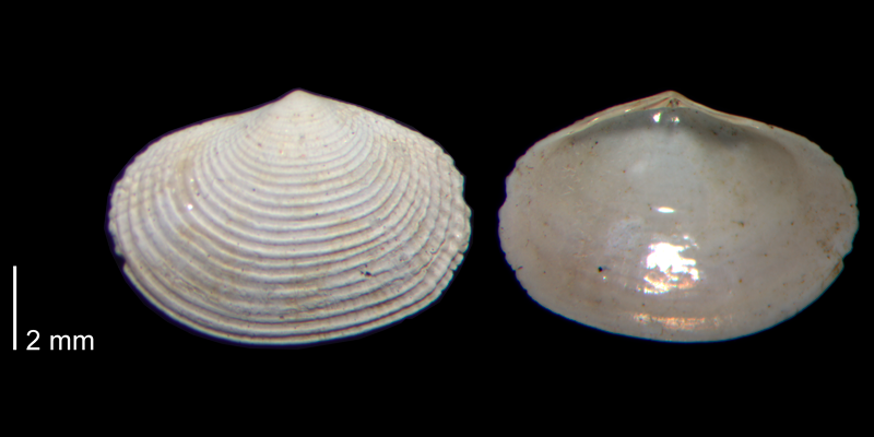 <i>Semele bellastriata</i> from the James City Fm. of Beaufort County, North Carolina (PRI 70480-2).