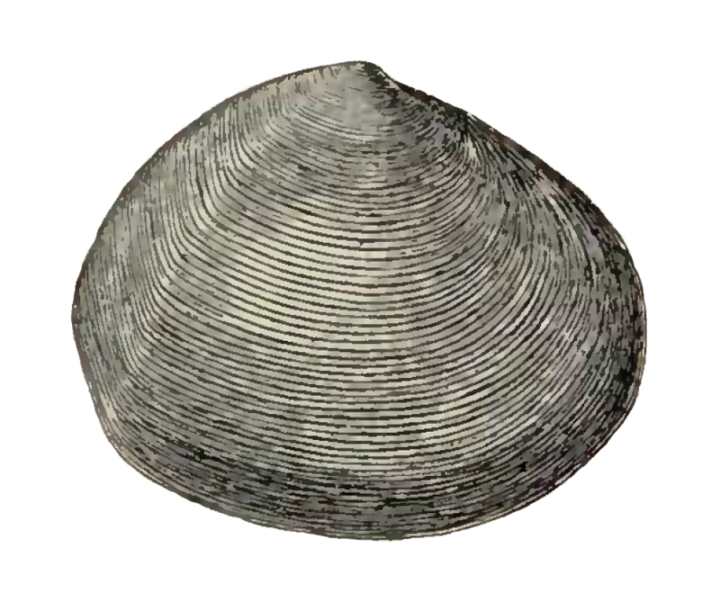 Specimen of <i>Semele chipolana</i> figured by Dall (1898, pl. 37, fig. 3); 54 mm in length.
