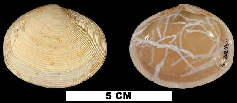 <i>Semele chipolana</i> from the Early Miocene Chipola Fm. of Calhoun County, Florida (UF 202454).