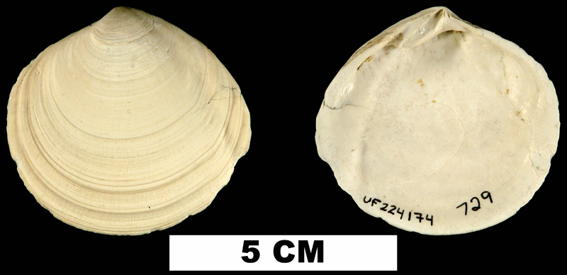 <i>Semele harveyensis</i> from the Late Pliocene Tamiami Fm. (Pinecrest Beds) of Okeechobee County, Florida (UF 225174).