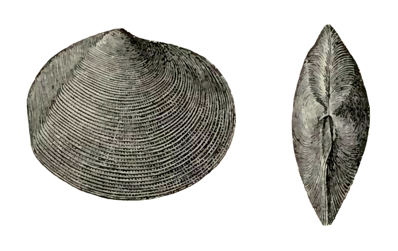 Specimen of <i>Semele leana</i> figured by Dall (1898, pl. 37, fig. 1 and 2); 54 mm in length.