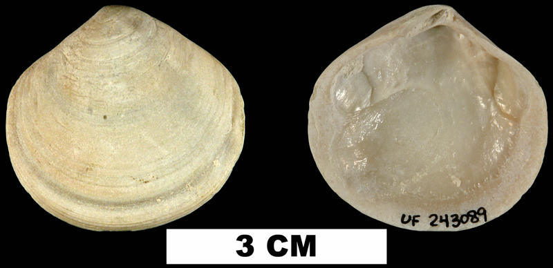 <i>Semele proficua</i> from the Middle Pleistocene Bermont Fm. of Palm Beach County, Florida (UF 243089).