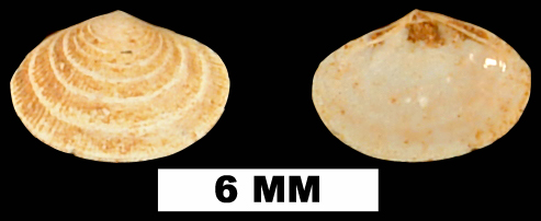 <i>Semele scintillata</i> from the Early Miocene Chipola Fm. of Calhoun County, Florida (UF 119704).