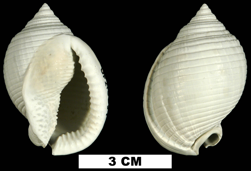 <i>Semicassis granulata</i> from the Middle Pleistocene Bermont Fm. of Miami-Dade County, Florida (UF 216659).