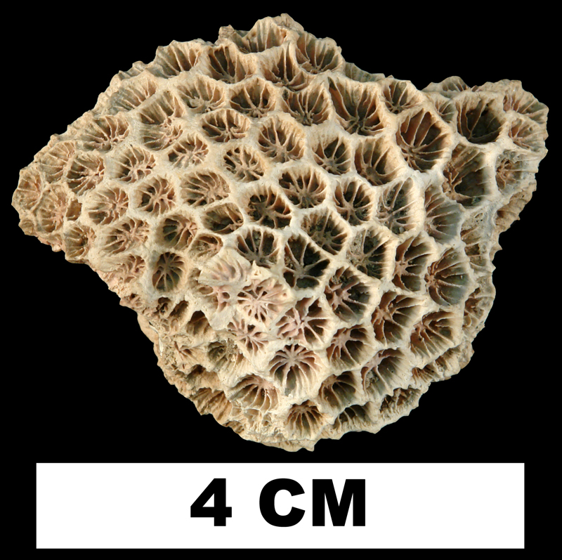 <i>Septastrea marylandica</i> from the Plio-Pleistocene (formation unknown) of Sarasota County, Florida (UF 9229).