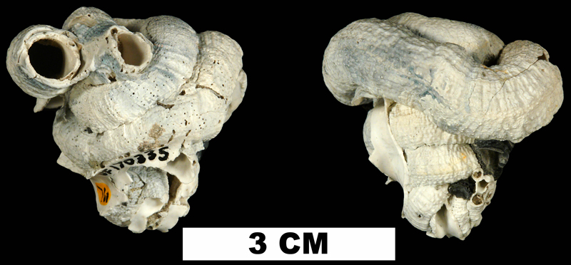 <i>Serpulorbis granifera</i> from the Late Pliocene Tamiami Fm. (Pinecrest Beds) of Okeechobee County, Florida (UF 170335).