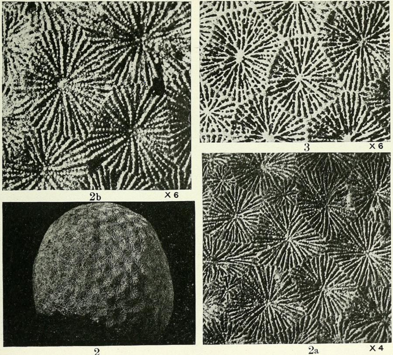 Specimens of <i>Siderastrea pliocenica</i> figured by Vaughan (1919, pl. 118, fig. 2, 2a, 2b, and 3).