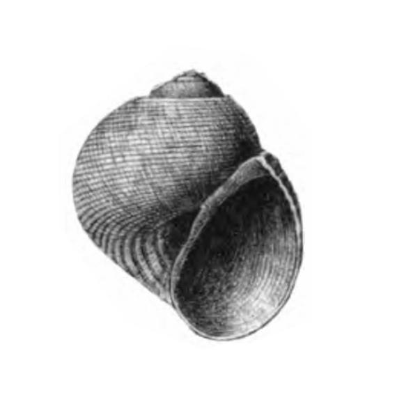 Specimen of <i>Sigatica caractica</i> figured by Gardner (1926, pl. 60, fig. 2); 8 mm in length.