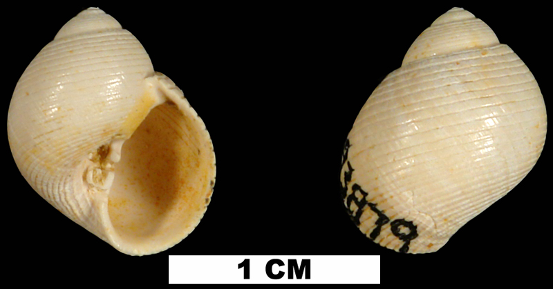 <i>Sigatica caractica</i> from the Early Miocene Chipola Fm. of Calhoun County, Florida (UF 93879).