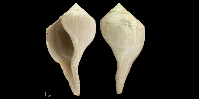 <i>Sinistrofulgur yeehaw</i> from the Plio-Pleistocene Nashua Fm. of Putnam County, Florida (PRI 70662).