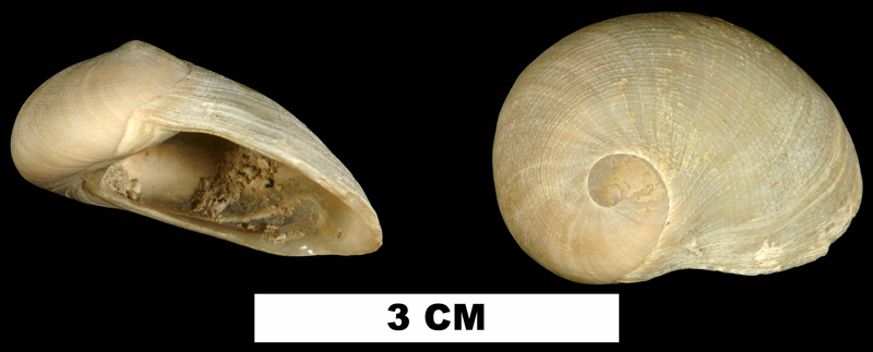 <i>Sinum polandi</i> from the Middle Miocene Bermont Fm. of Palm Beach County, Florida (UF 127335).