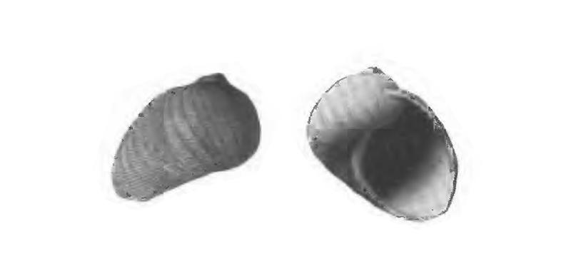 Specimen of <i>Sinum waltonense</i> figured by Gardner (1947, pl. 59, fig. 33 and 34); 27 mm in length.