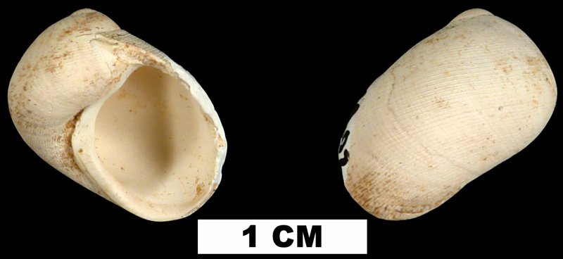 <i>Sinum waltonense</i> from the Middle Miocene Shoal River Formation of Walton County, Florida (UF 69802).