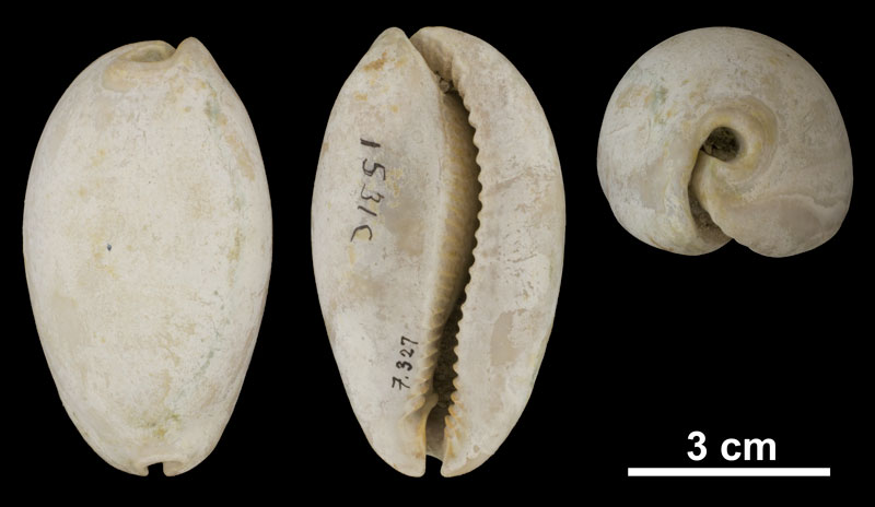 <i>Siphocypraea problematica</i> from the Plio-Pleistocene (formation unknown) of Hendry County, Florida (PRI 69852).