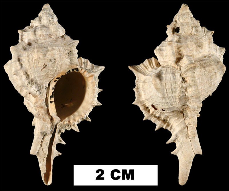 <i>Siratus chipolanus</i> from the Early Miocene Chipola Fm. of Calhoun County, Florida (UF 41791).