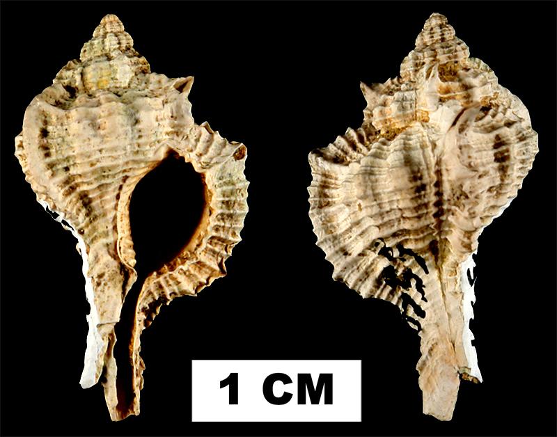 <i>Siratus sextoni</i> from the Early Miocene Chipola Fm. of Calhoun County, Florida (UF 175731).