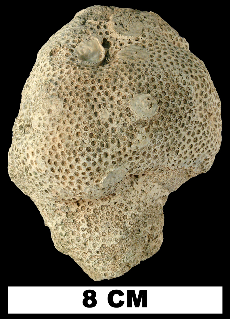 <i>Solenastrea bournoni</i> from the Plio-Pleistocene (formation unknown) of Sarasota County, Florida (UF 12246).