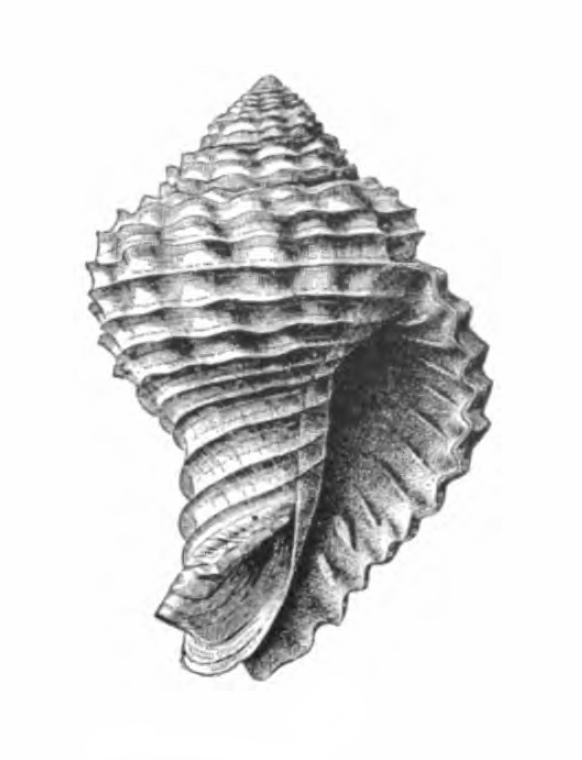 Specimen of <i>Solenosteira mengeana</i> figured by Dall (1890, pl. 9, fig. 1); 24.0 mm in length.