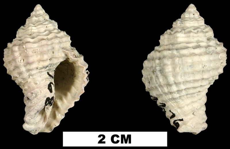 <i>Solenosteira mengeana</i> from either the Early Pleistocene Caloosahatchee Fm. or Middle Pleistocene Bermont Fm. of Glades County, Florida (UF 202276).