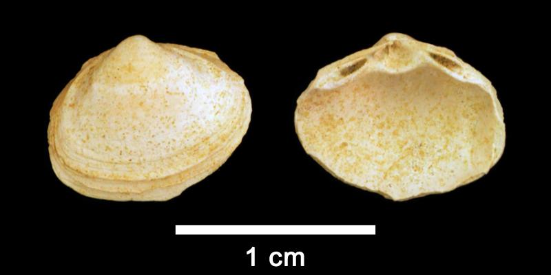 <i>Spisula confraga</i> from the Pliocene Yorktown Fm. (Sunken Meadow Member) of Frederick County, Virginia (SDSM 109755).