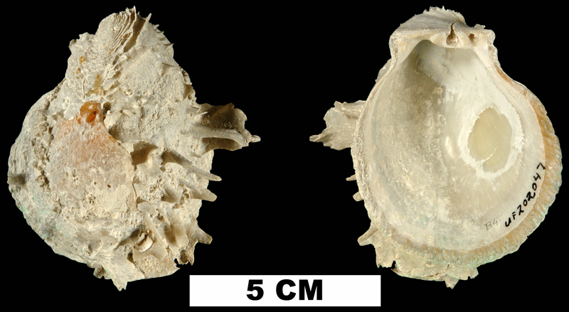 <i>Spondylus americanus</i> from the Middle Pleistocene Bermont Fm. of Palm Beach County, Florida (UF 202047).