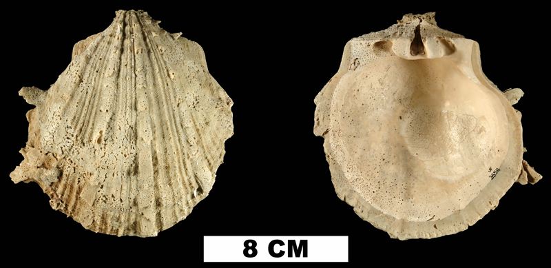 <i>Spondylus</i> cf. <i>bostrychites</i> from the Plio-Pleistocene (formation unknown) of Sarasota County, Florida (UF 35511).