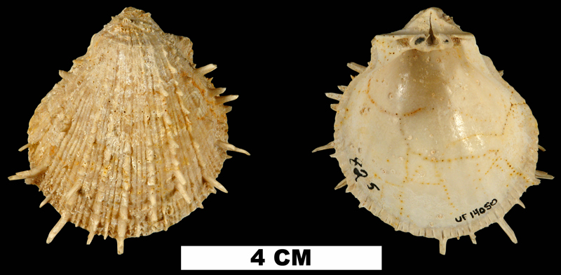 <i>Spondylus chipolanus</i> from the Early Miocene Chipola Fm. of Calhoun County, Florida (UF 14050).