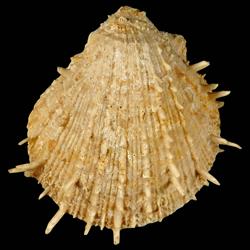 Spondylus chipolanus