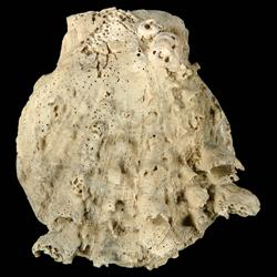 Spondylus rotundatus