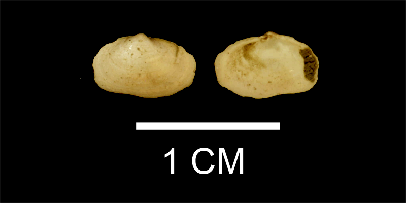 Sportella constricta from the Late Pliocene Duplin Fm. of Wayne County, Georgia (SDSM 112164).