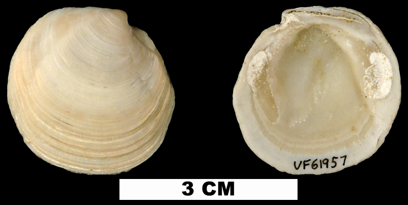 <i>Stewartia floridana</i> from the Late Pliocene Tamiami Fm. (Pinecrest Beds) of Highlands County, Florida (UF 61957).