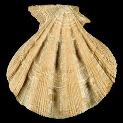 Stralopecten