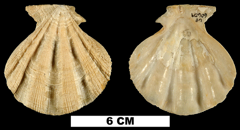 <i>Stralopecten caloosaensis</i> from the Early Pleistocene Caloosahatchee Fm. of Hendry County, Florida (UF 60609).