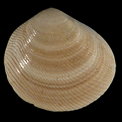 Strigilla