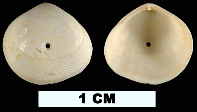 <i>Strigilla paraflexuosa</i> from the Early Miocene Chipola Fm. of Calhoun County, Florida (UF 189426).