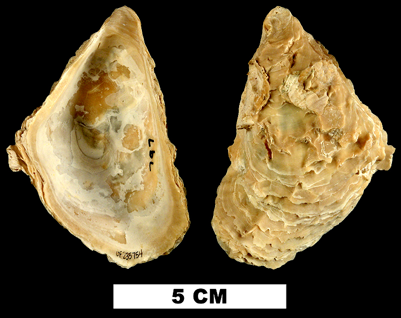 <i>Striostrea paucichomata</i> from the Late Pliocene Tamiami Fm. (Pinecrest Beds) of Collier County, Florida (UF 235754).