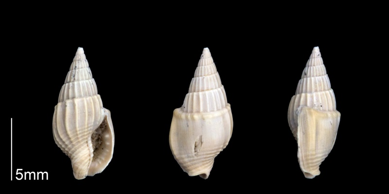<i>Strombina gunteri</i> from the Late Pliocene Tamiami Fm. (Pinecrest Beds) of Sarasota County, Florida (PRI 70252).