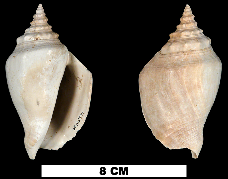 <i>Strombus evergladesensis</i> from either the Early Pleistocene Caloosahatchee Fm. or the Middle Pleistocene Bermont Fm. of Okeechobee County, Florida (UF 145571).
