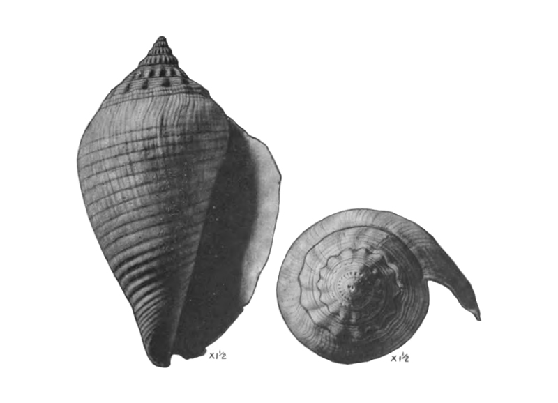 Specimen of <i>Strombus floridanus</i> figured by Mansfield (1930, pl. 13, fig. 9 and 10); 62 mm.