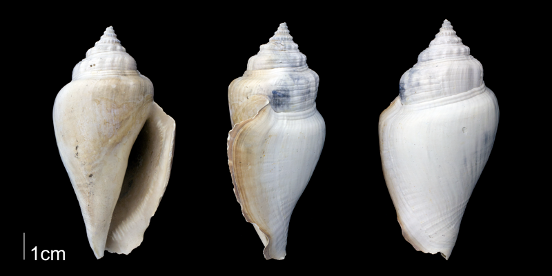 <i>Strombus floridanus</i> from the Late Pliocene Tamiami Fm. (Pinecrest Beds) of Sarasota County, Florida (PRI 70060).