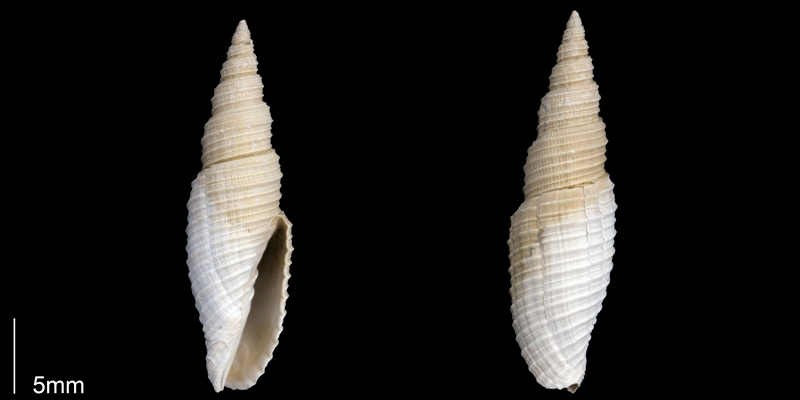 <i>Subcancilla longa</i> from the Late Pliocene Tamiami Fm. (Pinecrest Beds) of Sarasota County, Florida (PRI 70058).